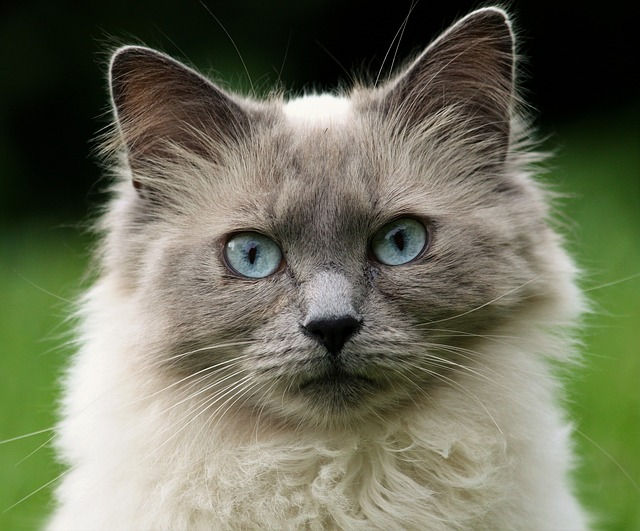 kočka s pomněnkovýma očima