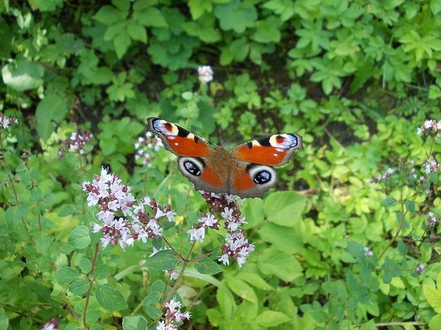 motýl na majoránce